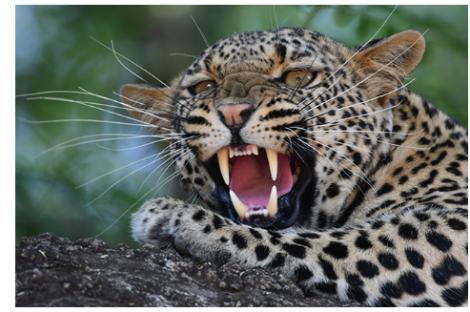 Digitálny fotoaparát Nikon D500 detailný záber na leoparda