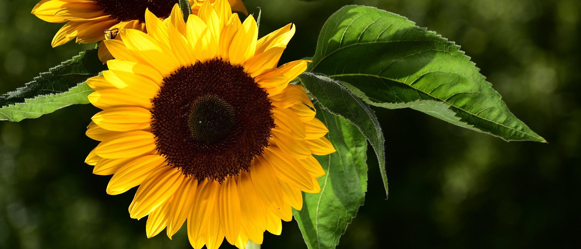 Nikon slunečnice