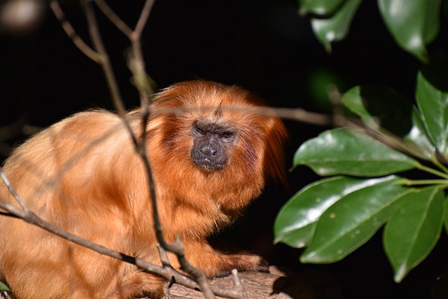 Nikon opice
